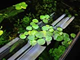 12 Amazon Frogbit (Limnobium Laevigatum), Live Aquarium /Aquatic Floating Plant by G&Z