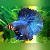 Halfmoon Betta - Male - Live Aquarium Tropical Fish