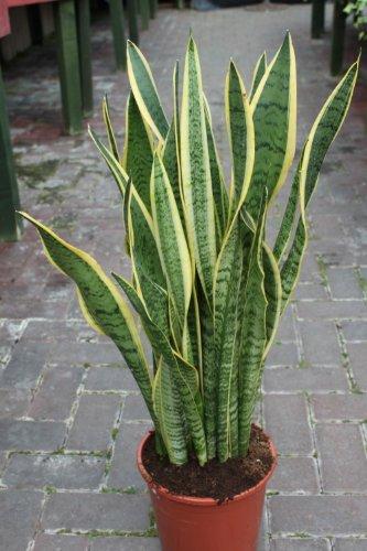 51xCE0slhxL._SL500_ How Tall Marginata Houseplant on peace lily houseplant, janet craig houseplant, pothos houseplant, corn plant houseplant, english ivy houseplant,