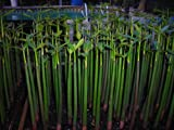 75 RED MANGROVE SEEDLINGS 18''-26''