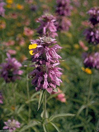Lemon Bee Balm - 1 Packet 1000 Seeds Lemon Mint, Beebalm, Monarda Citriodora, Attact Bees and Butterflies to Garden !