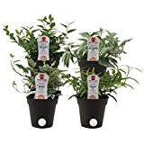 Costa Farms Exotic Angel Ivy Live Indoor Plant, Grower's Choice Assortment, 4-Pack
