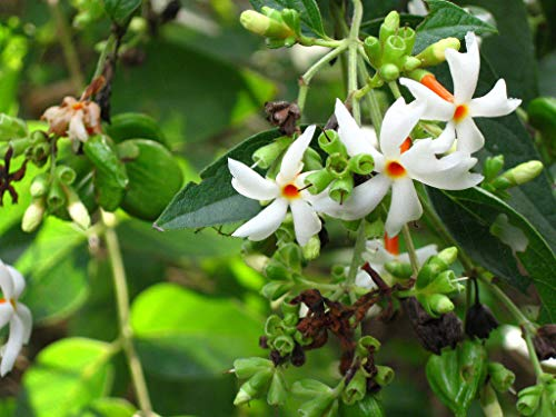 nyctanthes Arbor-tristis Night Flowering Jasmine Coral Jasmine parijat 10 Seeds