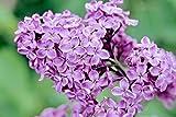 30 COMMON PURPLE LILAC SEEDS - Syringa vulgaris