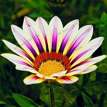 Gazania Rigens Seeds Flower Plants For Home  Garden Decor Planting Mixed 100pcs