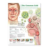 Understanding the Common Cold Anatomical Chart