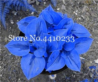 100 pcs/Bag Seeds hosta Plants, perennials Jardin Lily Flower Shade hosta Flower Flores herb Plants for Home Pot and Garden: n