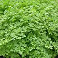 chervil, FRENCH PARSLEY, herb spice seeds!