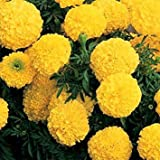 Zoomy far: F-1 Marigold INCA Yellow Flower Seeds (AVG 50-100) Seeds X 1 Packet
