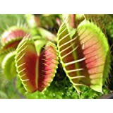 RP Seeds Dionaea muscipula (Venus Fly Trap) - 15 Seeds