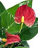 Sierra Anthurium Plant – Easy to Grow Blooming House Plant – 4″ Pot – Great Gift