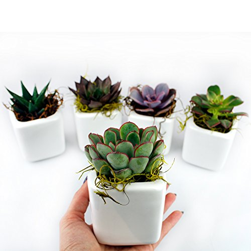 NW Wholesaler - Set of 50 or 100 Live Succulents with Moss and Pots for Wedding Favors, Party Favors or Succulent Gardens (50) by NW Wholesaler (Image #4)