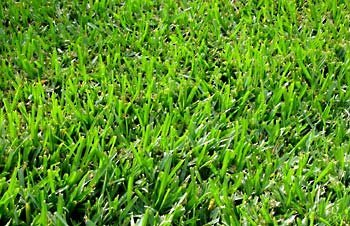 The Dirty Gardener Coated Bermuda Grass Seed - 10 Pounds