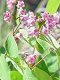 Spreading Dogbane (Apocynum androsaemifolium) NA NATVE 10ct. packet of seeds (BOGO)