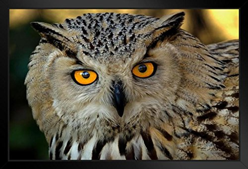 Eurasian Eagle Owl Close Up Photo Art Print Framed Poster 18x12 by (Snowy Owl Photo)