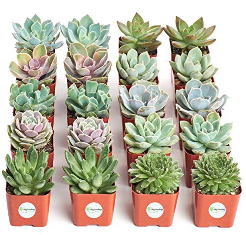 Shop Succulents Rosette Succulent (Collection of 20) -
