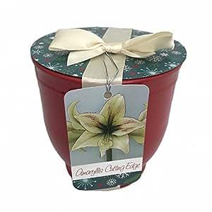 Cutting Edge Amaryllis, en maceta de cerámica, lazo y etiqueta de regalo