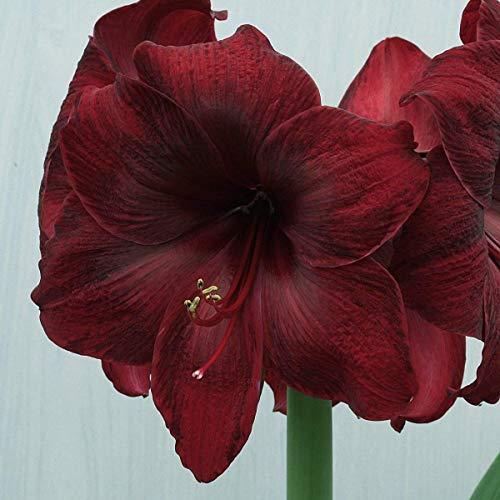 - Black Pearl Amaryllis Bulbs-2 Bulbs Spectacular Flowering Perennial Garden Bonsai for Gift!