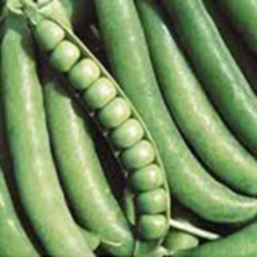 Seeds Green Bush Pea Dzhof Ukrainian Heirloom Vegetable NON-GMO - Bush Pea
