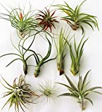 10 or 12 Pack Of Assorted Tillandsia Air Plants