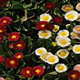 Outsidepride English Daisy Bellis Perennis Flower Seed Mix - 5000 Seeds