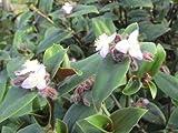 Tradescantia Blossfeldiana aka Cerinthoides- Wandering Jew Flowering Inch Plant