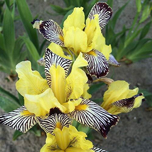 Golden Zebra Iris Plant - Iris versicolor - Yellow & Brown Flower - 4