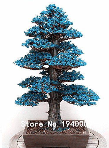20 PCS/BAG JAPANESE CEDAR Semillas bonsai seeds FOR home decoration SVI