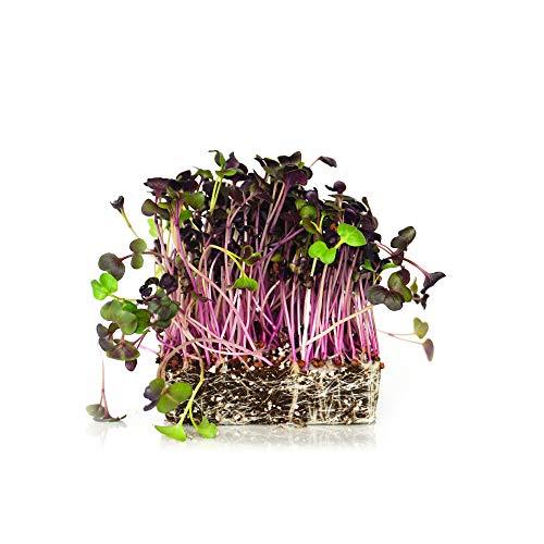 Radish Salad - Rambo Radish Microgreens Seeds, Fantastic Addition to Salads! 200+ Premium Heirloom Seeds, Perfect for Your Home Garden!,(Isla's Garden Seeds) UPC-0667744998729, Non GMO, 90% Germination,