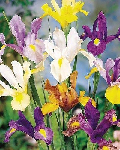 12 Bulbs Dutch Iris Mixed - Iris hollandica - Perennial - Spring Blooming Flowers
