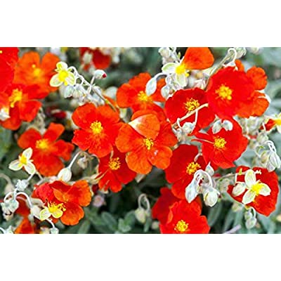 (1 Gallon) Red Sunrose (Sunrosa) Small Shrub with Crimson-Red Blooms with Bright Yellow Center. Disease Resistant and Low Maintenance. : Garden & Outdoor