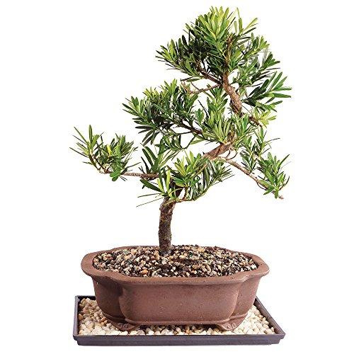 Podocarpus Bonsai - Brussel's Live Podocarpus Micro Phyllus Outdoor Bonsai Tree - 11 Years Old; 14