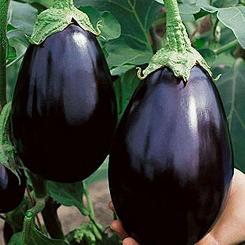 Eggplant Black Beauty D2470 (Black) 50 Organic Heirloom Seeds by David's Garden Seeds