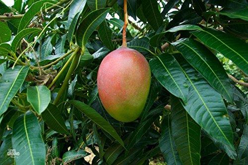 Mango Tree (Glenn Variety)