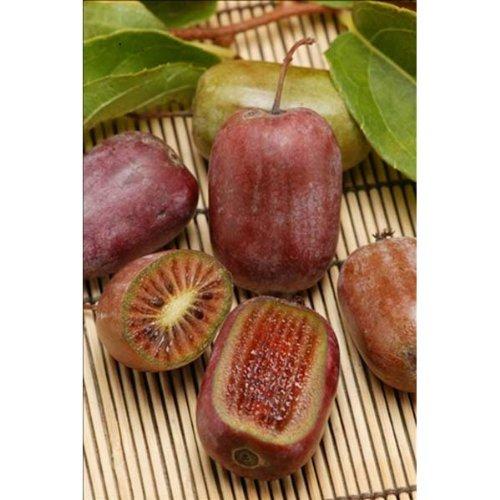 極甘サルナシ:紫香(しこう)4号ポット ノーブランド品 B01MQMG9B4