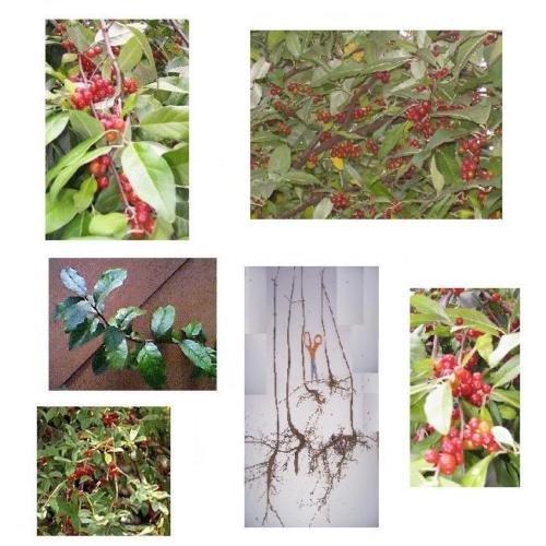Autumn Olive Shrub - 7