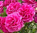 Blackberry Nip Rose Seeds Bush Flower Seeds