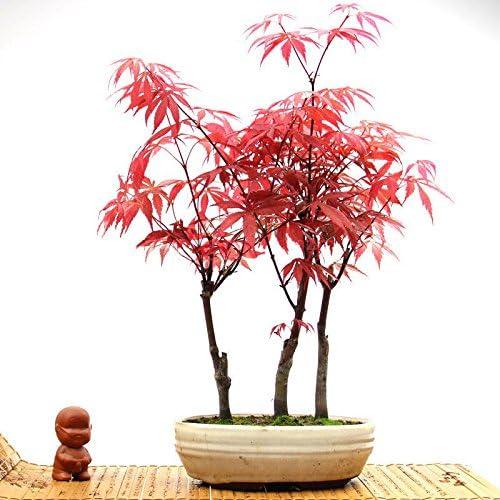 20pcs Rare American Red Maple Bonsai Tree Fresh Viable Seeds Pot Plants NEW
