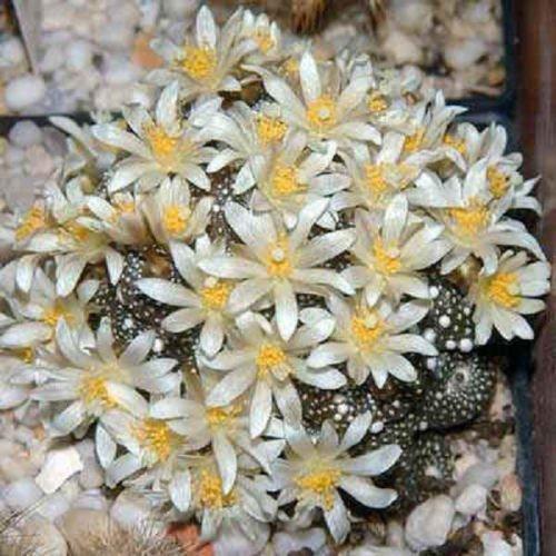 Blossfeldia liliputana, semi di cactus rari cactus 30 SEMI