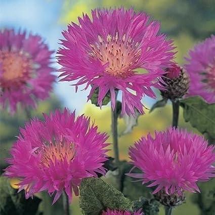Amazon tall pink cornflower 400 seeds stunning pink colored tall pink cornflower 400 seeds stunning pink colored flowers mightylinksfo