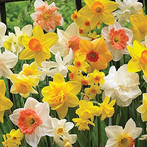 Beautiful Mixed Daffodils for naturalizing(Pack of 12 Bulbs) Perennial Zones-9