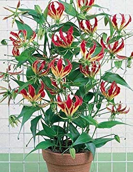 (Gloriosa Rothschildiana 15 Seeds (Glory Lily Plant) Indoor House Plant)