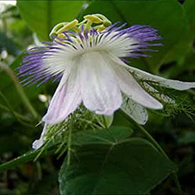 Wild Water Lemon Seeds (Passiflora foetida) 2+ Rare Tropical Fruit Seeds in FROZEN SEED CAPSULES for The Gardener & Rare Seeds Collector - Plant Seeds Now or Save Seeds for Years : Garden & Outdoor