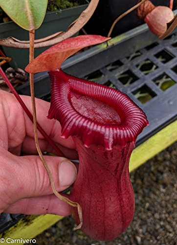 Tropical Pitcher Plant - Large Nepenthes ventricosa red - Carnivorous Plant ()