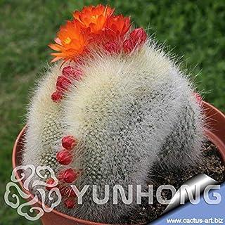 Pinkdose Promozione 100 PCS Bonsai Notocactus Graessneri Cactus Fiore pianta DIY casa della decorazione del giardino Novel Piante in vaso Kalanchoe