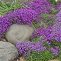 250 Seeds Rock Cress Cascading Aubrieta Whitewell Gem (Perennial) Deer Resistant