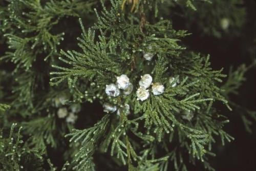 Atlantic White-Cedar (Chamaecyparis thyoides) deepot/Seedling