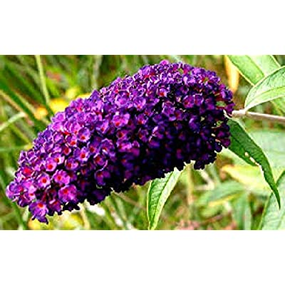 Bush Buddleia Black Knight Butterfly Davidii Live Herb Plant Outd/Indoor Garden : Garden & Outdoor