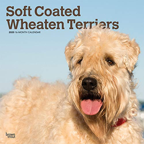 (Soft Coated Wheaten Terriers 2020 12 x 12 Inch Monthly Square Wall Calendar, Animals Dog Breeds Terriers )