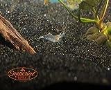 12 Ghost Shrimp (Palaemonetes paludosus aka Grass Shrimp, Glass Shrimp, Freshwater River Shrimp) Great feeder shrimp!